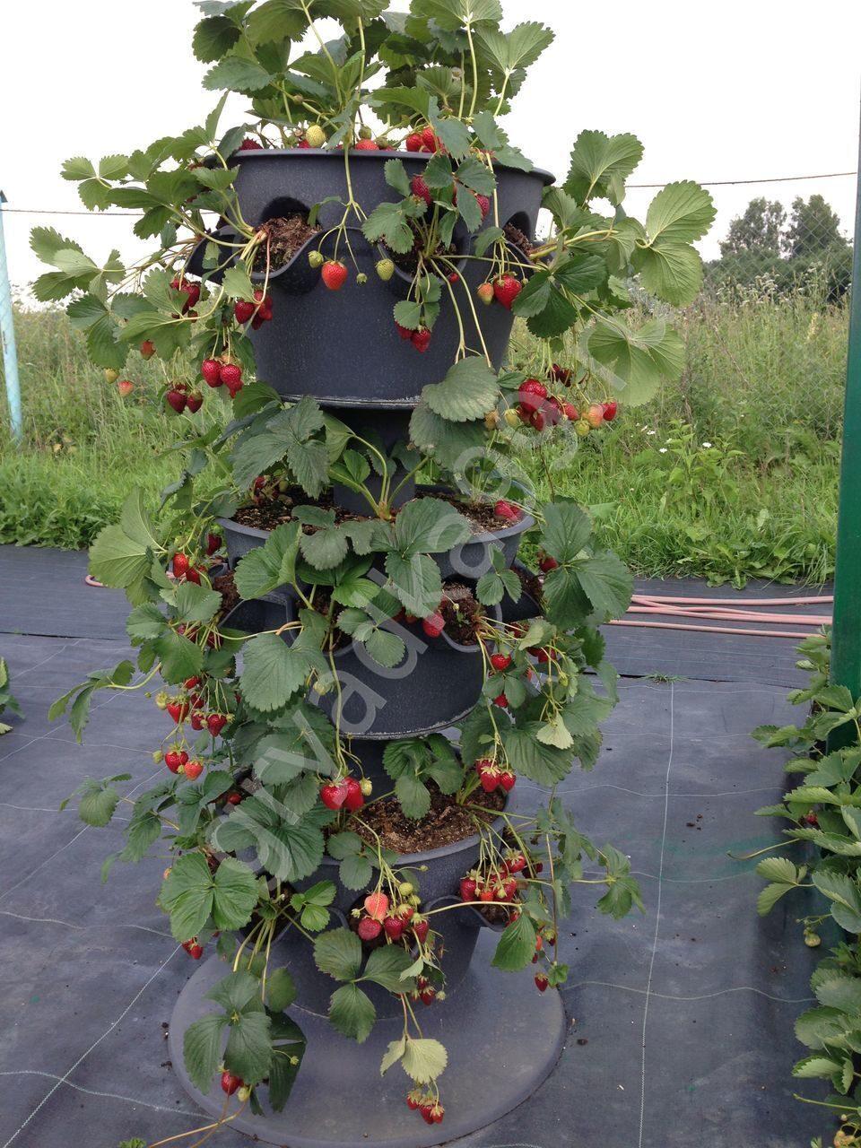 Выращивание и уход за вьющейся клубникой 248